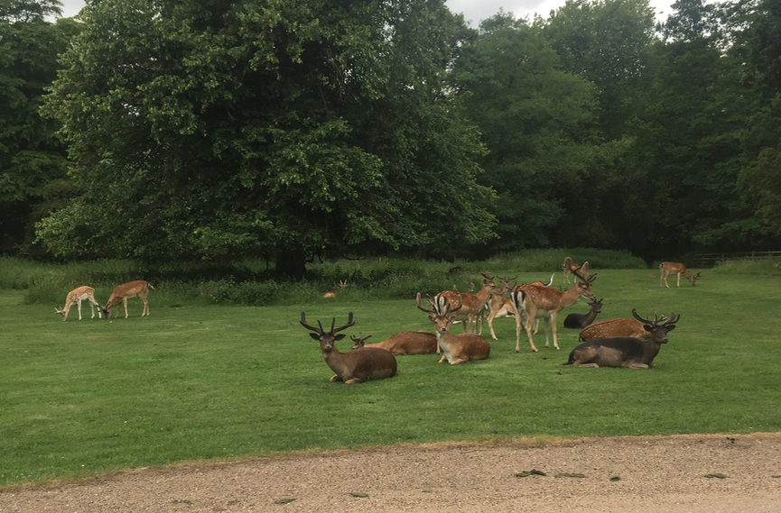 The Deer at Belton House